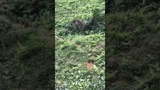 Thịt lợn heo rừng chuẩn giá bao nhiêu tiền - mua bán tại hà nội & Đà Nẵng & TPHCM