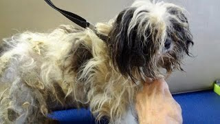 Matted Dogs Never Before Groomed - Miracle Makeovers Begin on Severely Neglected Puppy Mill Rescues