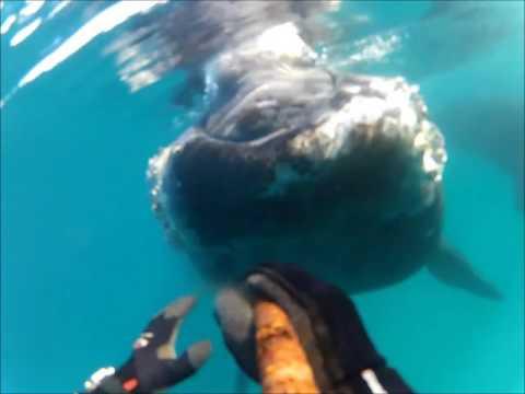 Curious Whale 'Boops' Tasmanian Diver