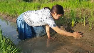 Net Fishing In battambang Province   -Fishing and Find Crab in Rice Field