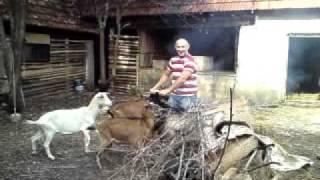 Treniranje koza
