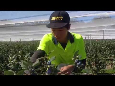 Picking Blueberry In Australia 採藍莓