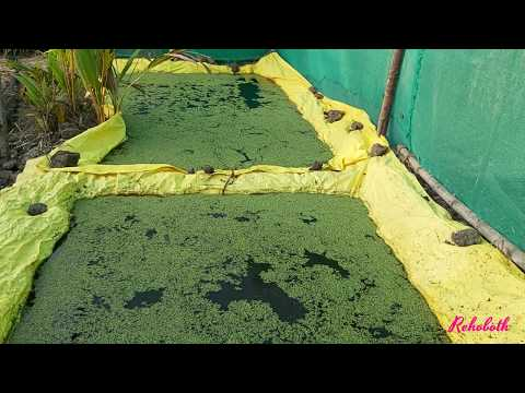 How to grow azolla for dairy farms / Cultivate azolla in limited budget