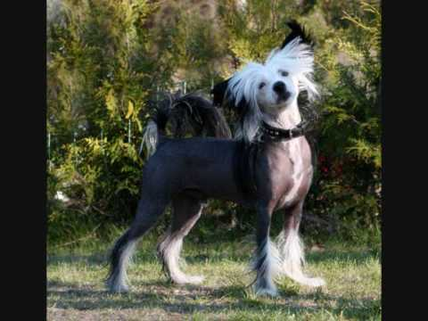 Curtis - our wonderful Chinese Crested dog - slideshow