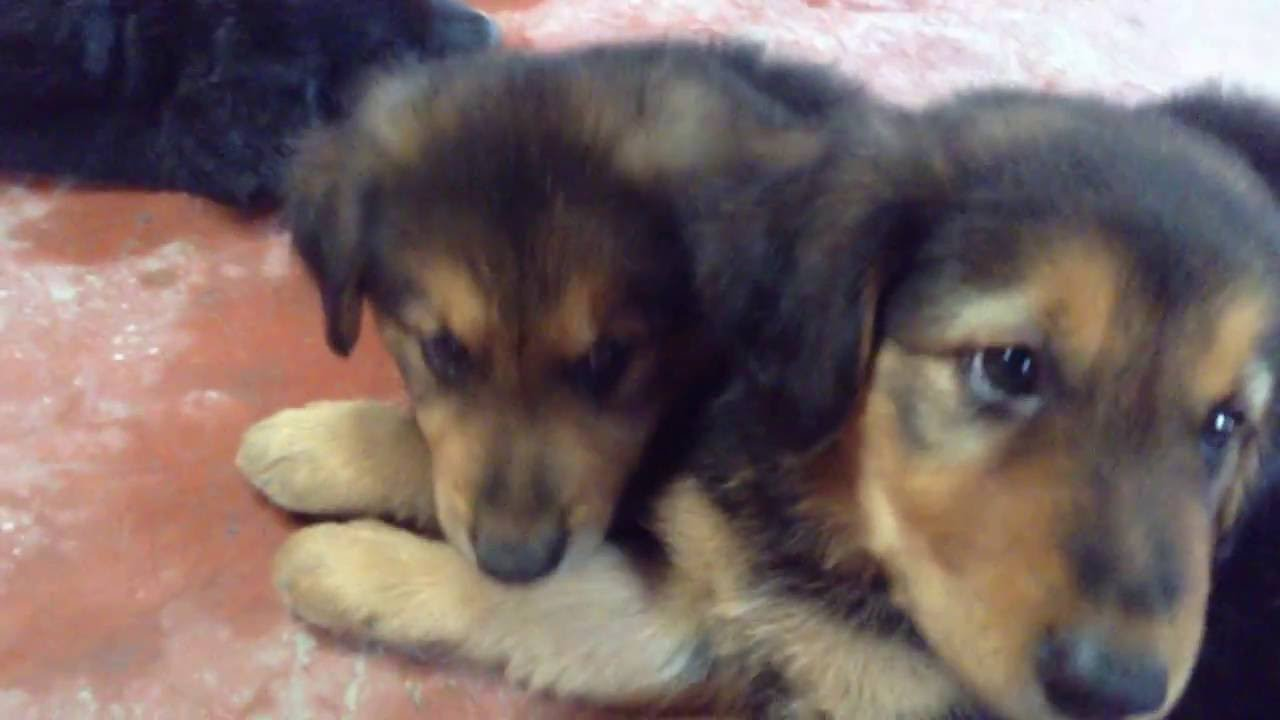 German Shepherd Golden Retriever Mix Puppies 7 Weeks Old Youtube
