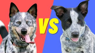 Blue Heeler (Australian Cattle Dog) VS Texas Heeler  Compare and contrast these dog breeds