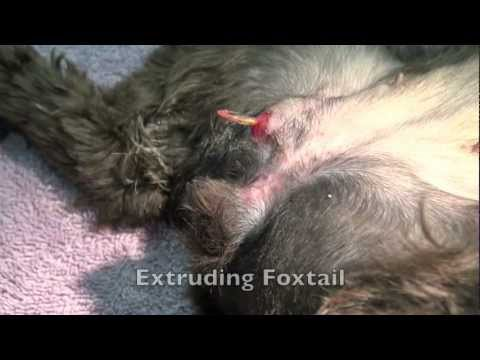 Youtube Remove Foxtail Dog S Paw