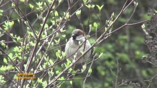 Spatz Haussperling - Moineau domestique - House Sparrow