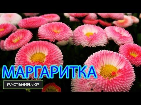Маргаритки уход / многолетние низкорослые цветы