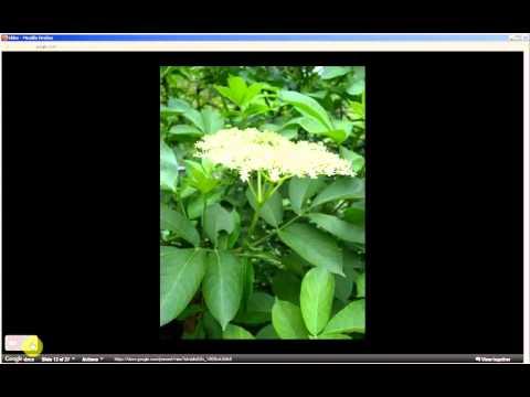 Sambucus nigra   Black Elderberry (Pt 1 of 2)