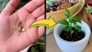 Evde limon çekirdeği çimlendirme aşamaları | Saksıda limon filizlendirme