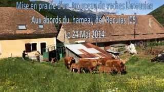 Mise en paturage d'un troupeau de vaches Limousine