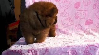 関西チャウチャウ子犬販売→ http://www.at-breeder.net/chow_chow/kansa...