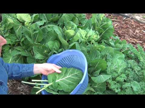 Growing Collard Greens