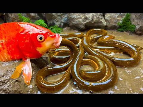 Stop Motion ASMR – Koi Fish Hunting Ribbon eel Colorful Yellow Perch – Primitive Cooking Experiment