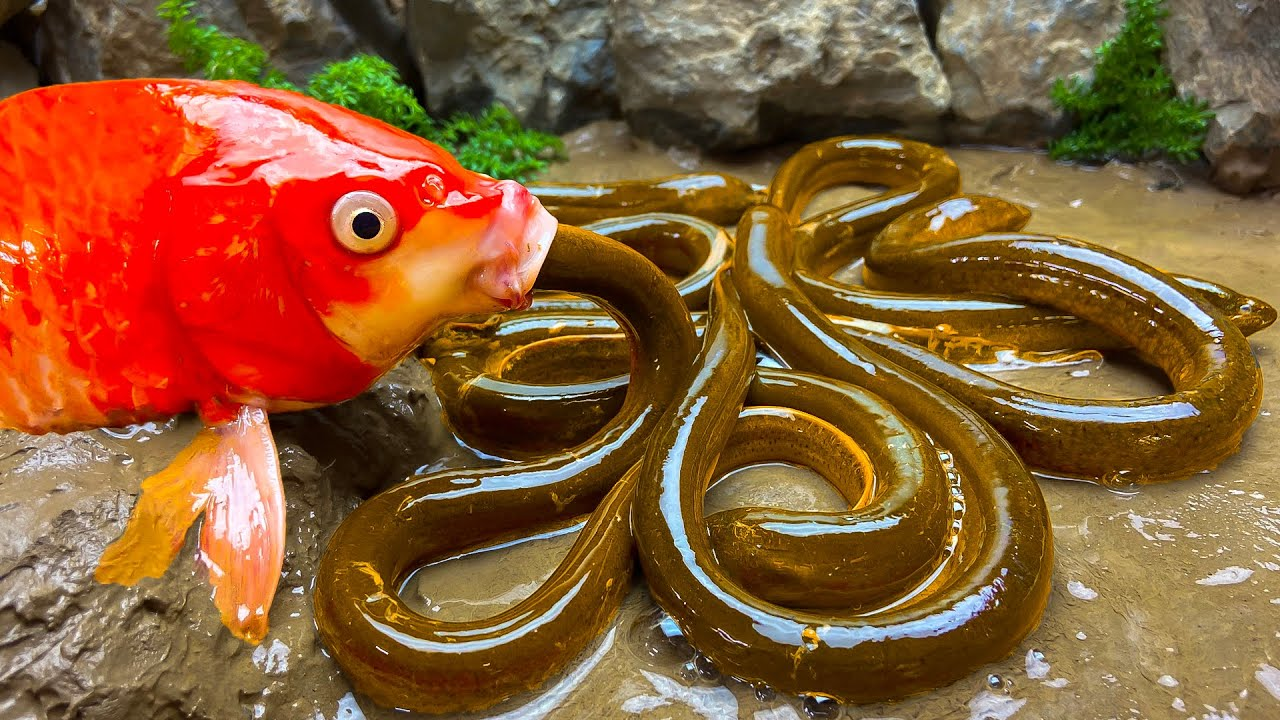 Stop Motion ASMR - Koi Fish Hunting Ribbon eel Colorful Yellow Perch - Primitive Cooking Experiment