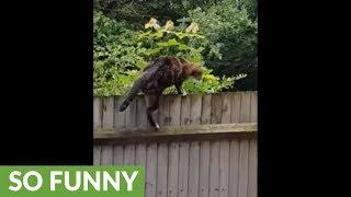 Cat awkwardly tries to scale backyard fence