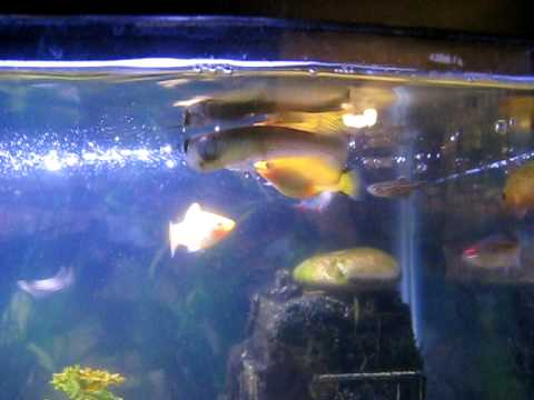 how to get arowana to eat
