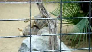 Turtle sex at the LA Zoo