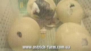 Страус: от снесенного яйца до первых шагов