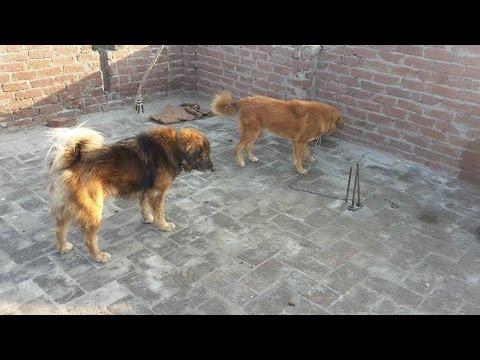 Bakarwal Dog