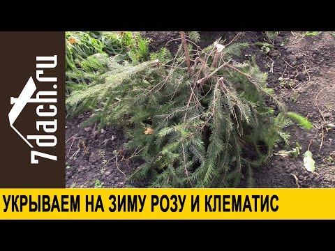 Укрываем на зиму РОЗЫ и КЛЕМАТИСЫ - 7 дач