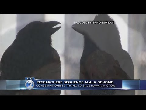 Scientists successfully sequence genome of near-extinct Hawaiian crow