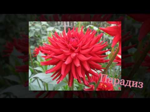 Красивые цветы: георгины разных сортов (видео)