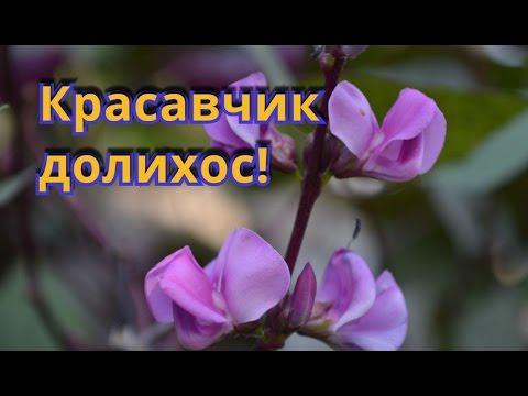 Вьющиеся растения для живой изгороди!  Долихос для летней живой изгороди!