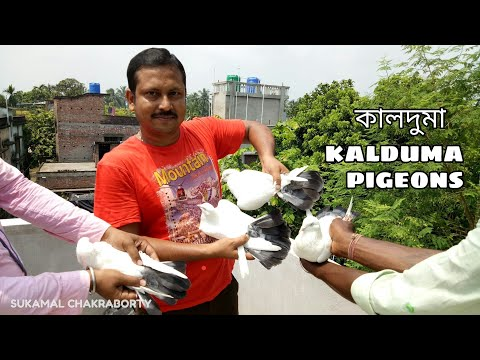 FAMOUS  OLD BREED CHINA  KALDUMA PIGEONS OF JAHED BHAI (KOLKATA WEST BENGAL)-8240414624