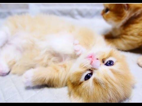 = ^   ^ = Munchkin kitten = ^   ^ =