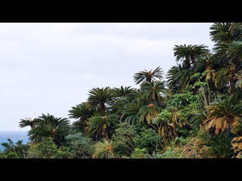 Sago Palm Tree Forests, Cycas Revoluta, Of The Amami Islands, Japan
