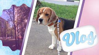 VLOG:весенняя прогулка с собакой, школа, йорк Чарлик и хомяк)