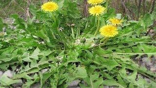 Ein einzelnes Blatt dieses Krautes, das sich in jedem Garten befindet kann Leben retten!