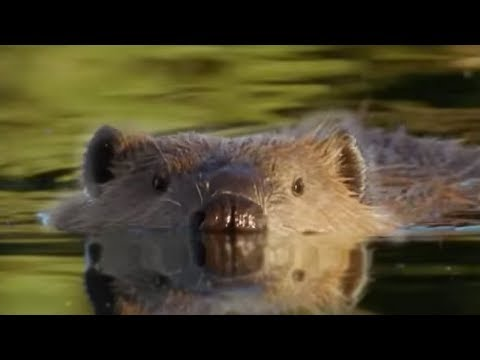 Attenborough: Beaver Lodge Construction Squad - BBC Earth