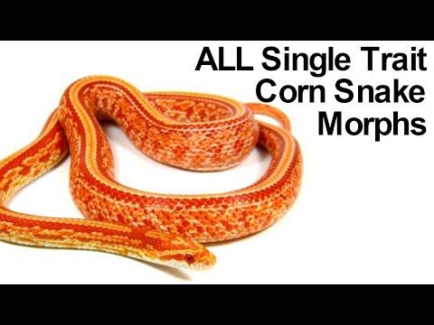 All Corn Snake Morphs