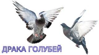 Видео про голубей. Голуби дерутся 1 на 1. НОВИНКА 2016 ☑(Новое видео про голубей 2016. На ролике видно как голуби дерутся в формате 1 на 1 :) Да так, что попадали оба :)..., 2016-09-20T09:47:18.000Z)