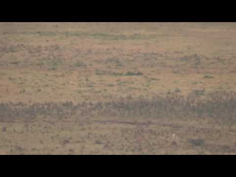 Ngorongoro crater - Hyenas attacking a zebra