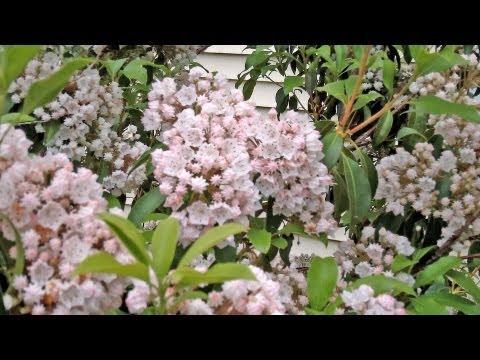 Mountain Laurel More Than A Rhododendron Kalmia Latifolia