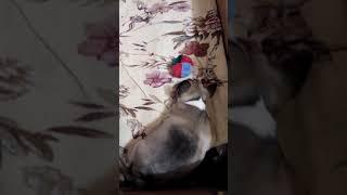 .Продам щенка мальчик 1.5 месяца ХАРЬКОВ