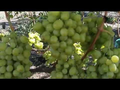 Виноград Кеша Талисман урожай 2016