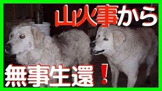 【感動する話 犬】20日もの長い間、山火事から90匹の羊たちを守りぬき無...