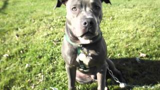 Blue Nose Pit Bull. Greatest Dog Ever! Diesel Of Pa