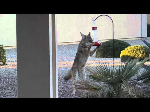 Coyote raid on humming bird feeder