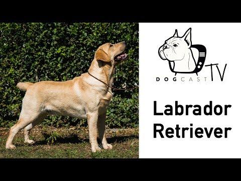 A Labrador Retriever kutya fajta