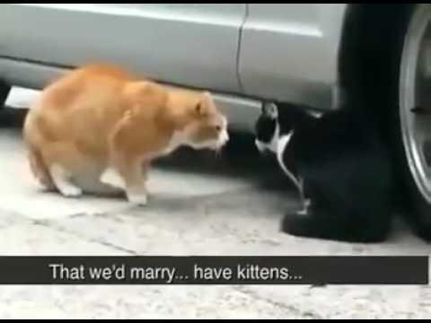Funny Cat fight conversation