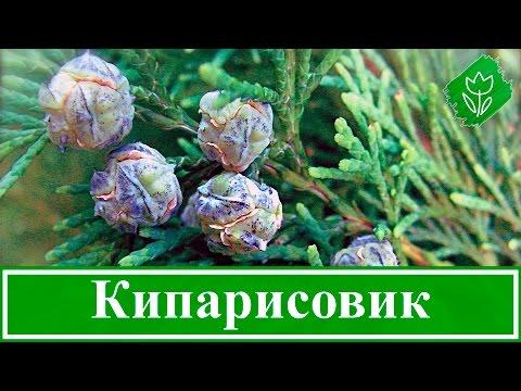 Туя виды и сорта, выращивание, уход, особенности размножения