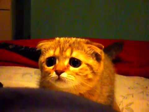 Kot Szkocki Zwisłouchy Cat Scottish Fold Youtube