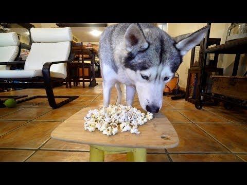 My Husky Eats Popcorn for 1 Minute! - ASMR