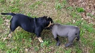 Minibulls micro exotic bullies